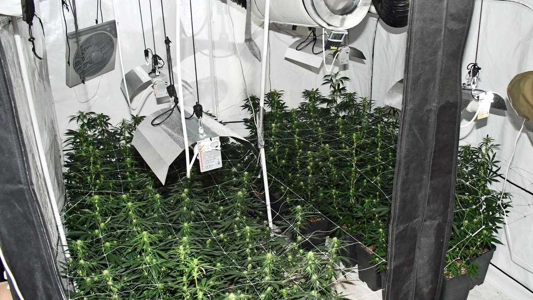 In einem Aufzuchtzelt aufgefundene Cannabisplantage in Mettmann.