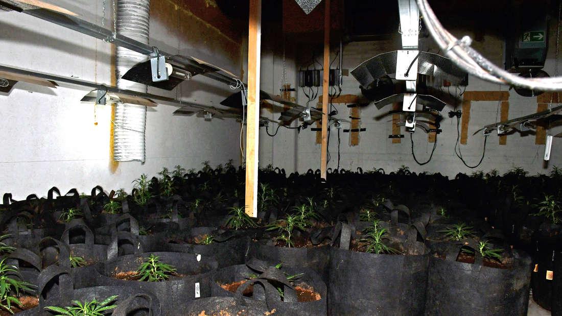 Setzlinge von Cannabis-Pflanzen in schwarzen Kübeln