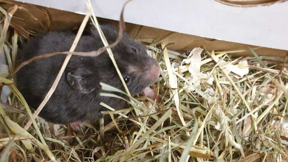Ein Hamster sitzt in einem Karton mit Heu