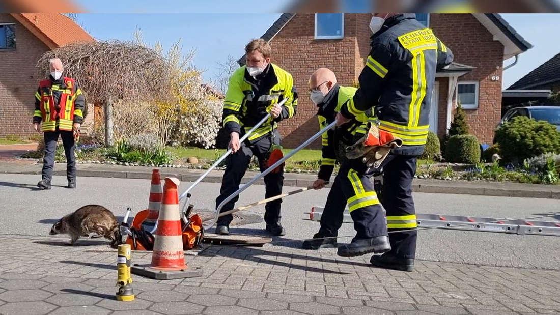 Feuerwehrmänner befreien Waschbären aus Kanalschacht