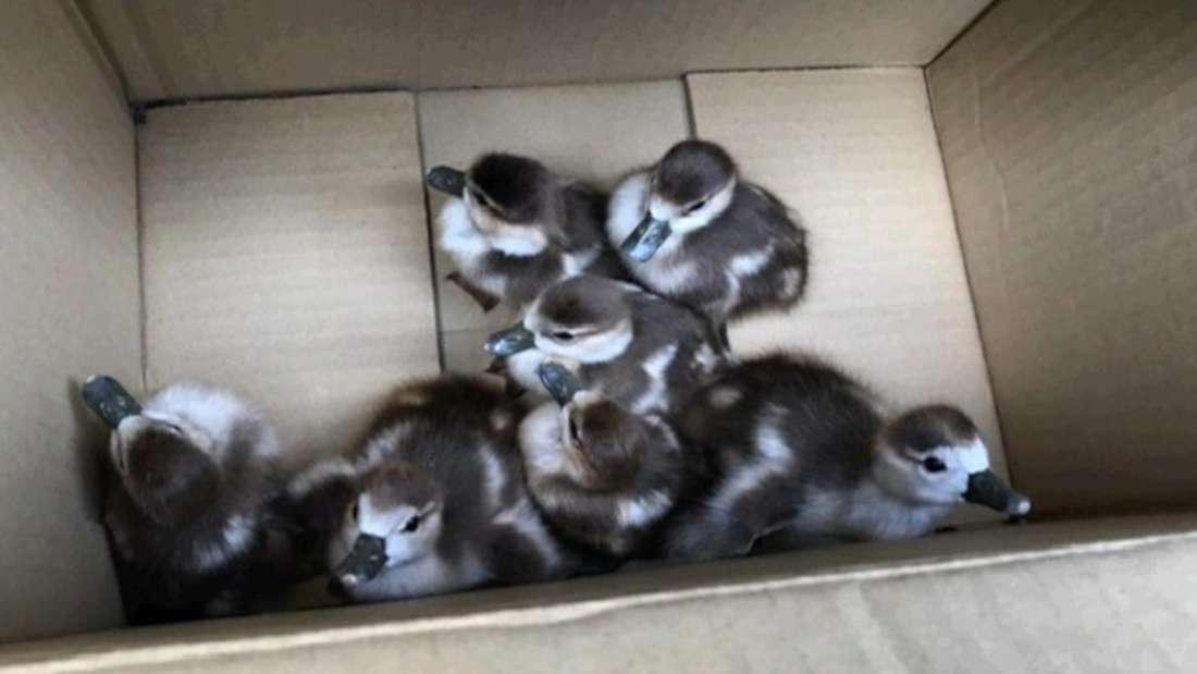 Sieben Entenküken in einem Karton.