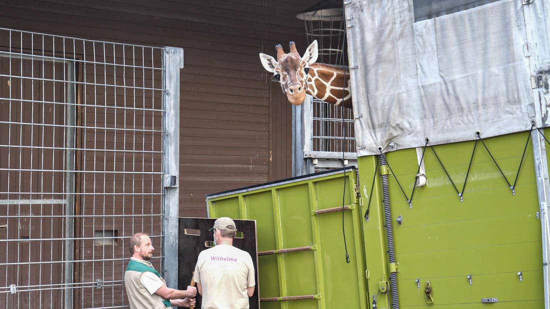 Interessiert streckt Giraffe Nyiri bei der Ankunft in Stuttgart ihren Kopf aus dem Spezialtransporter.