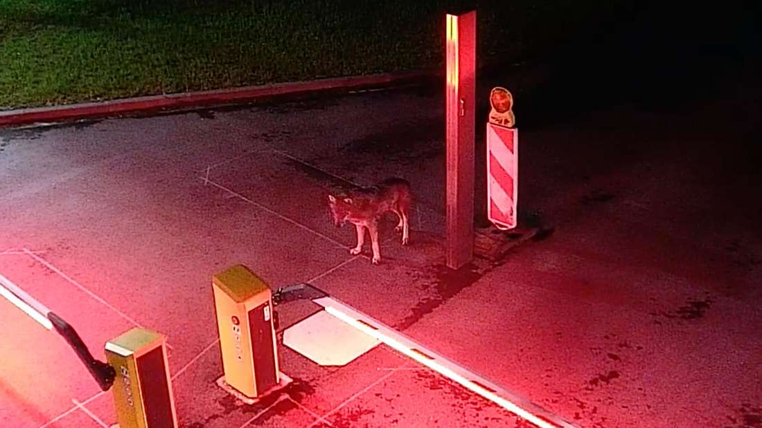 Das Bild einer Überwachungskamera der Rheinenergie im Kölner Stadtteil Neuehrenfeld hält den Besuch eines Wolfs fest.