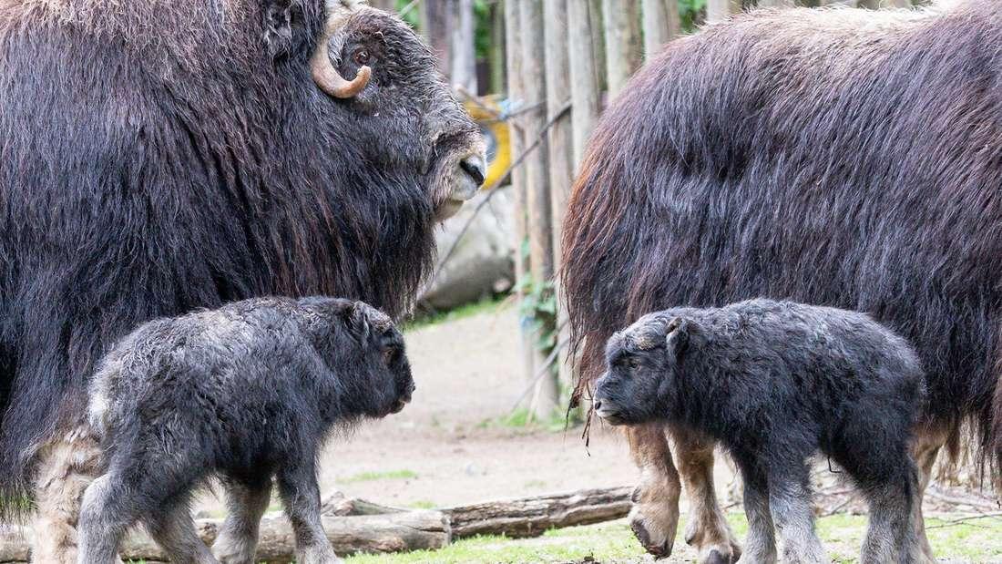 Zwei kleine Moschusochsen stehen bei ihren Müttern im Gehege des Kölner Zoos