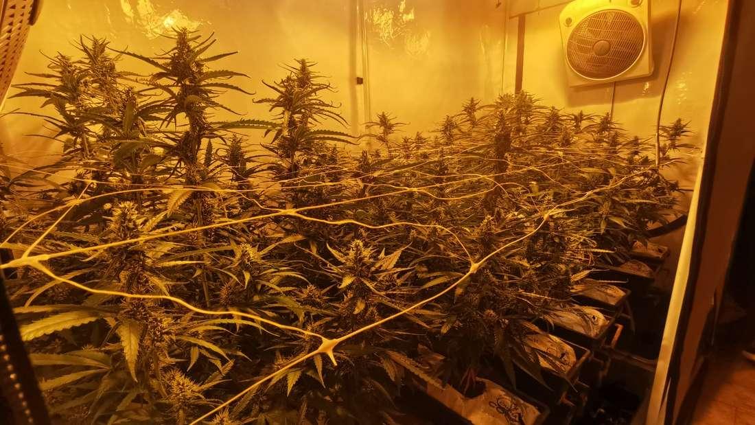 Eine professionell betriebene Cannabis-Plantage.