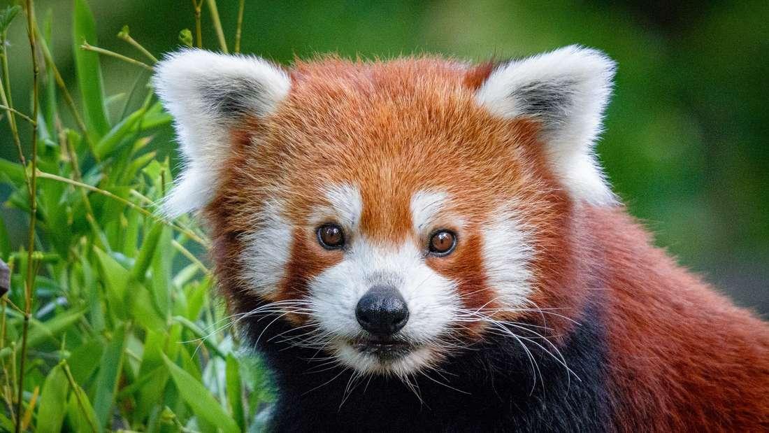 Ein Kleiner Panda des Zoo Duisburg.