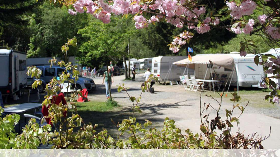 Mehrere Wohnwagen auf einem Campingplatz. Davor Kirschblüten.