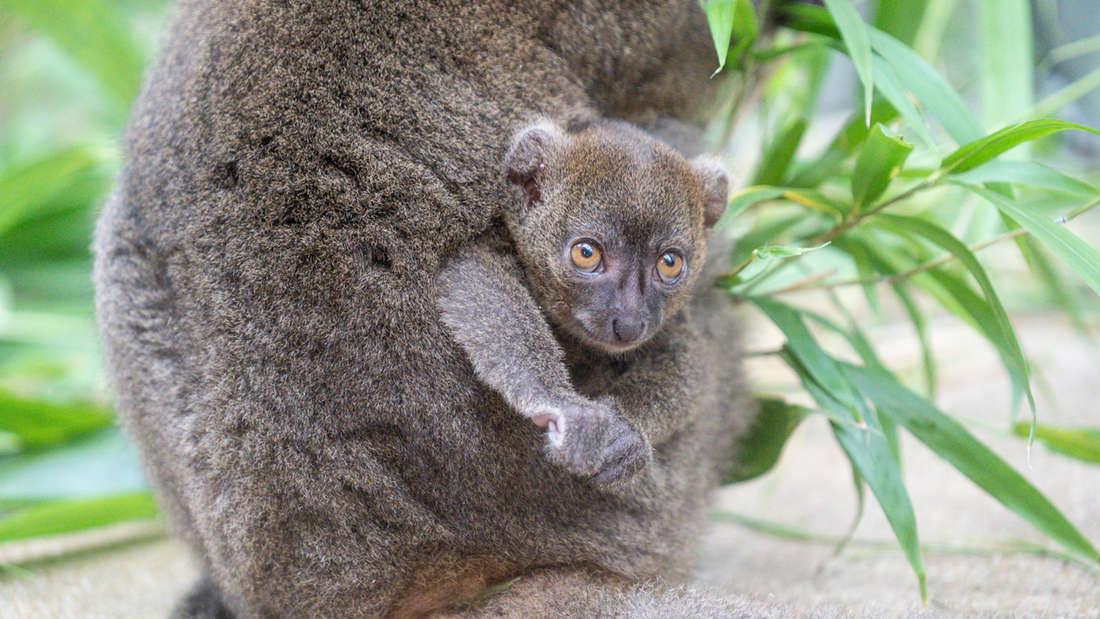 Ein neugeborener Bambuslemur am Körper der Mutter