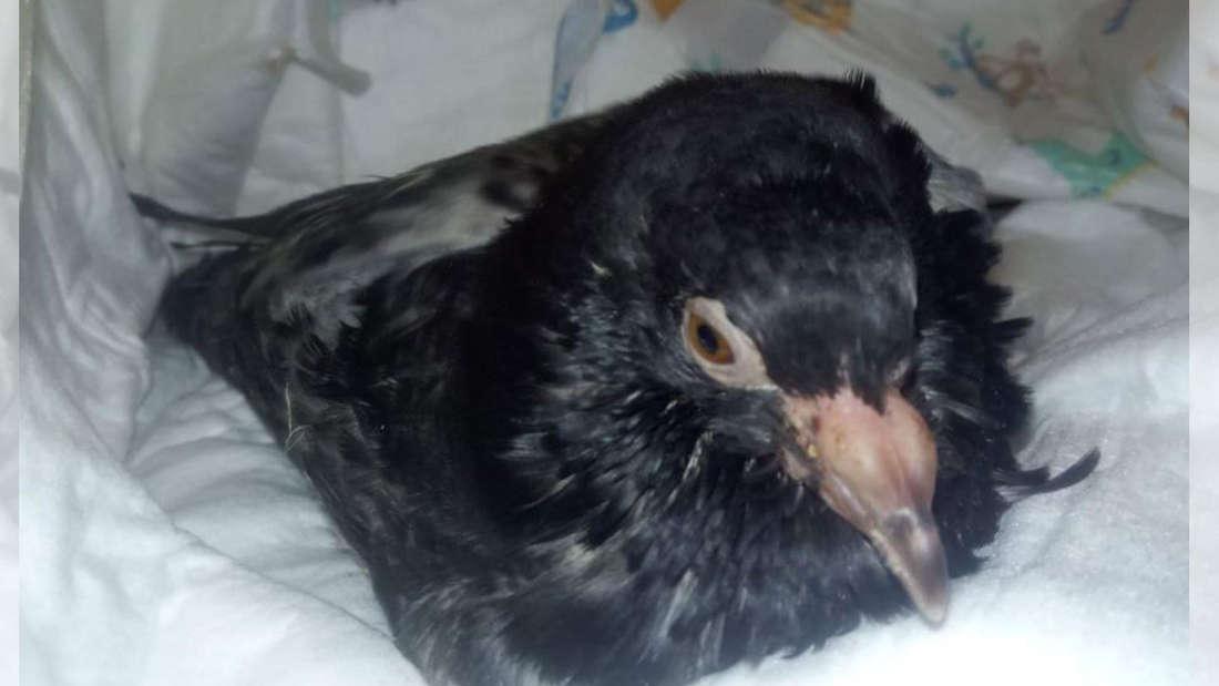 Ein Taubenküken mit schweren Schwellungen sitzt auf Handtüchern.