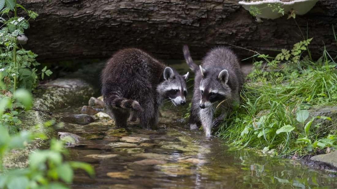 Zwei Waschbären stehen in einem Teich im Kölner Zoo.