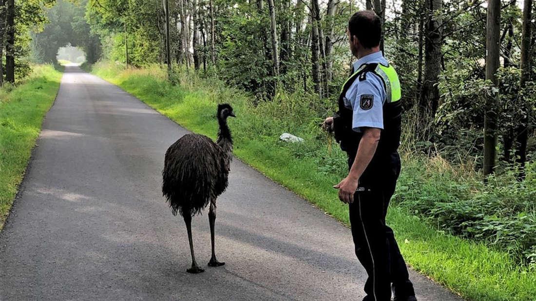 Ein Polizist lockt einen entlaufenen Emu mit Hundefutter in einer Rascheldose an.