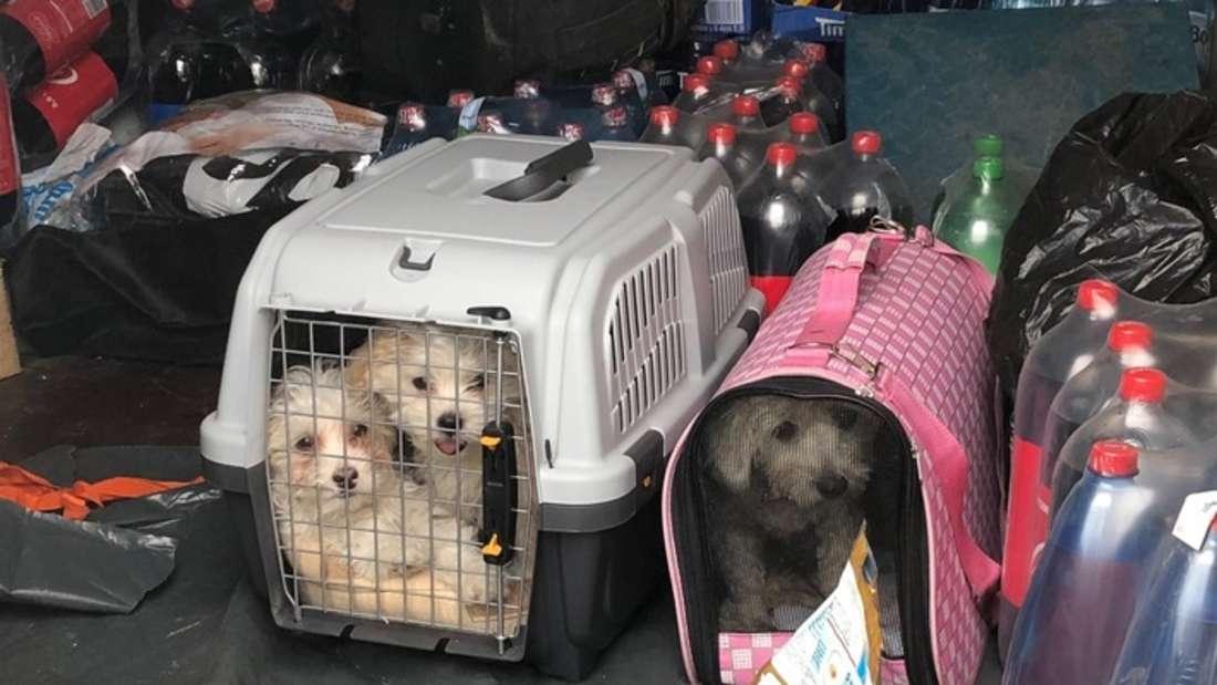 Drei kleine Hunde auf der Ladefläche eines Sprinters in Kleintiertransportboxen zwischen ungesicherter Ladung.