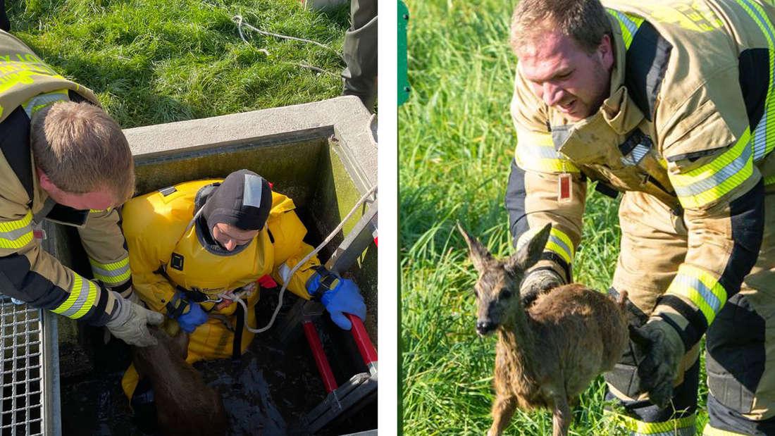 links: Ein Feuerwehrmann steigt in das Becken, in dem das Reh feststeckt. Rechts: Ein Feuerwehrmann lässt das Reh frei.