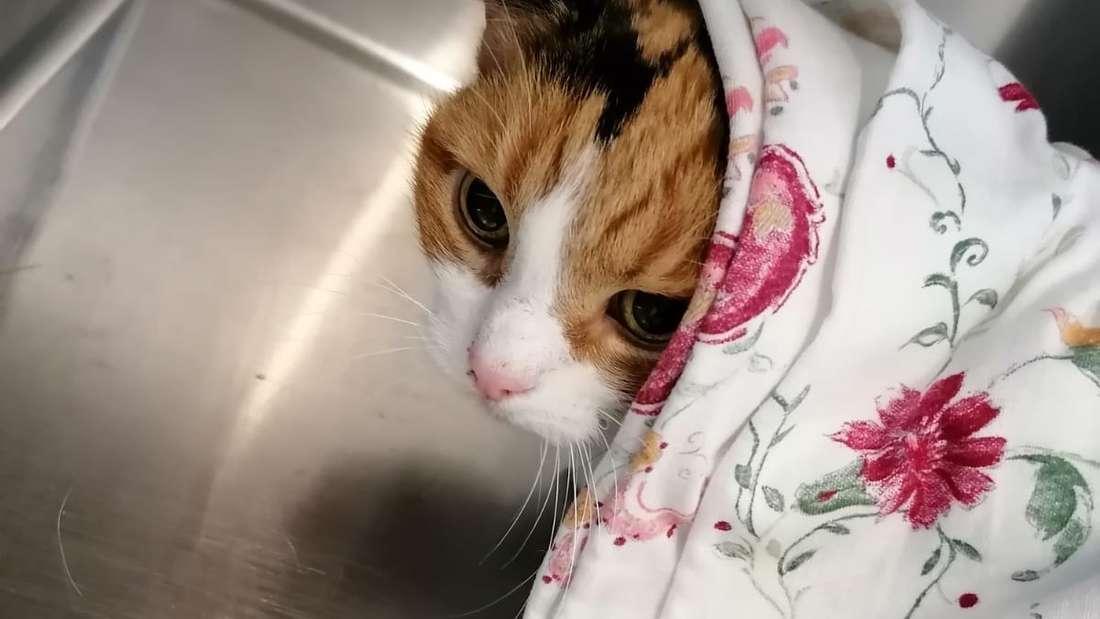 Die dreifarbige Katze unter einer Decke.